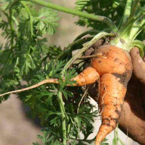cultivo de verano