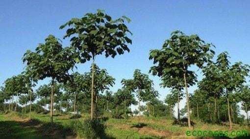 El árbol que puede salvar al mundo 1