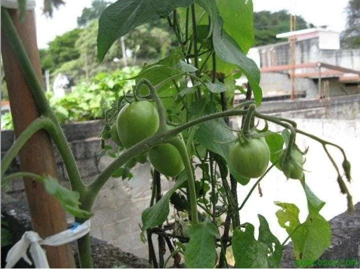 Organoponía, una excelente solución para el huerto en el balcón 5