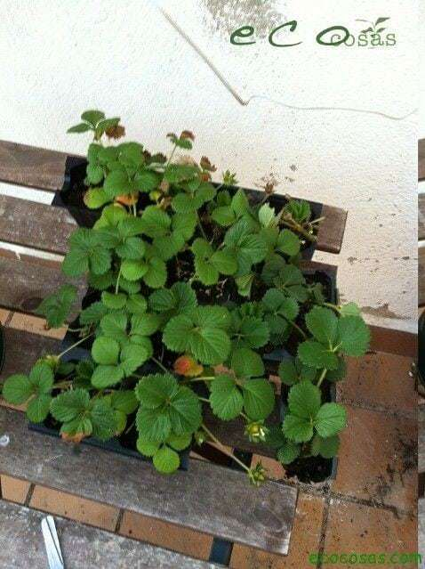 Como cultivar fresas en una bolsa de rafia 8