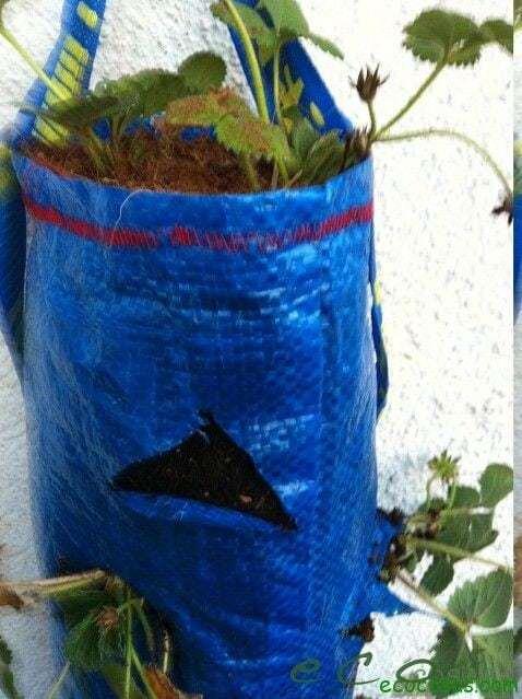 Como cultivar fresas en una bolsa de rafia 11