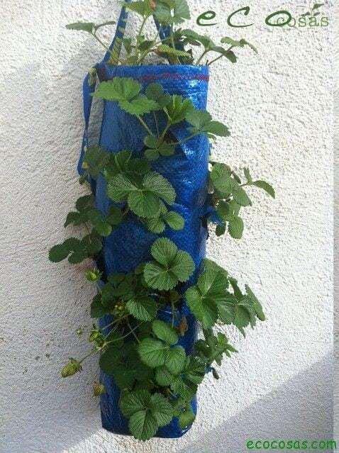 Como cultivar fresas en una bolsa de rafia 12