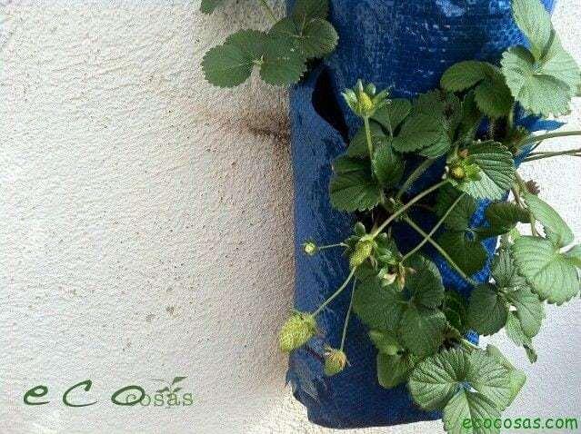 ecocosas IMG 1009 Como cultivar fresas en una bolsa de rafia