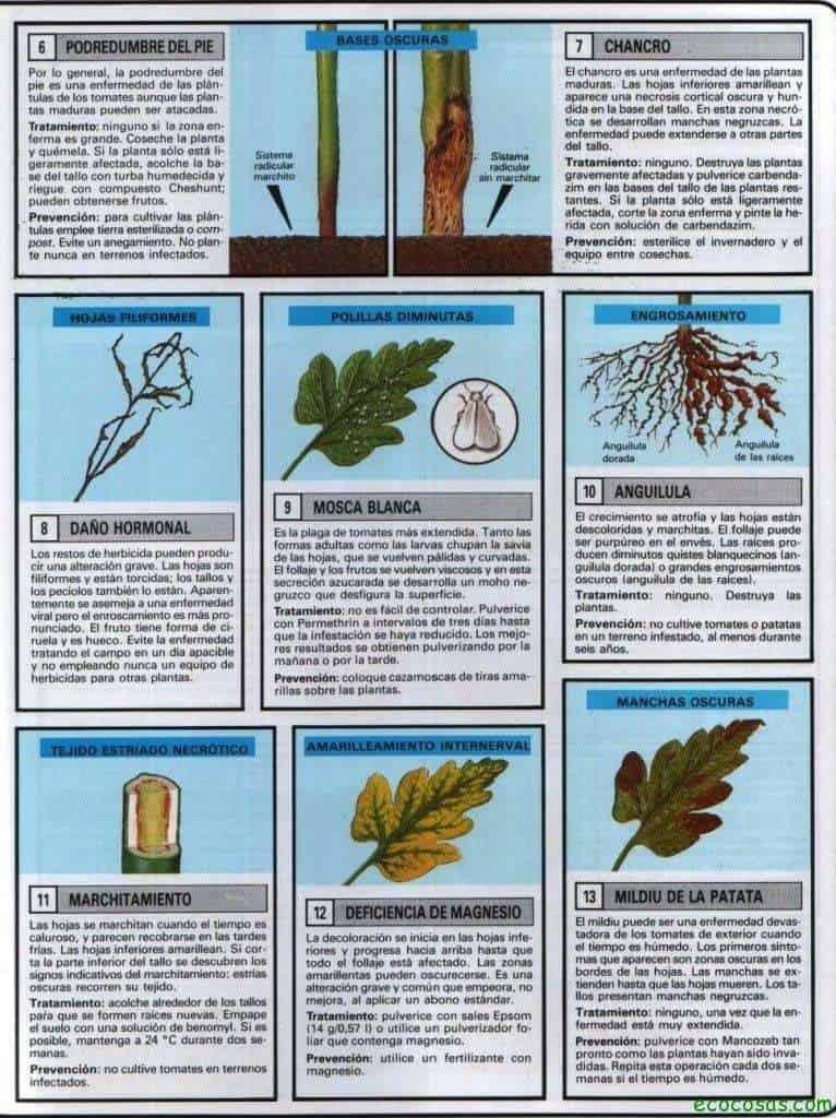 Tomates, plagas, enfermedades, semilleros y más 6
