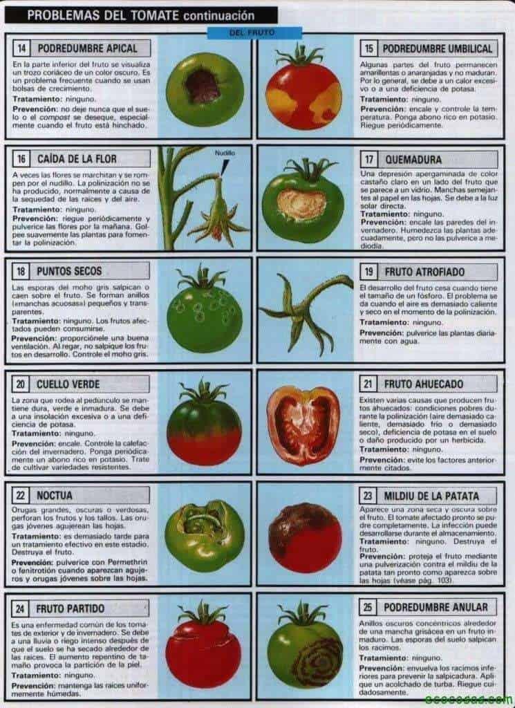 Tomates, plagas, enfermedades, semilleros y más 7