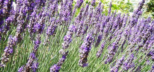 hierbas-aromaticas-4