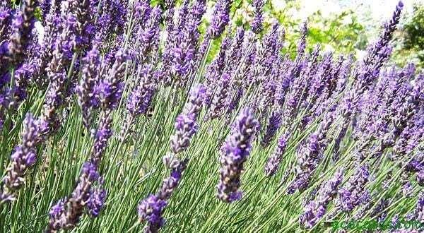 Ahuyenta polillas natural y ecológico  1
