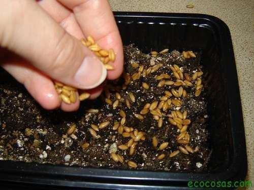 step 4 planting Wheatgrass, pasto de trigo un gran aliado para tu salud