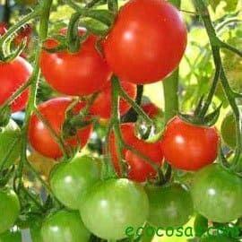 toma Cultivo de tomate (Ficha)