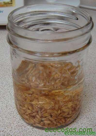 Wheatgrass, hierba de trigo un gran aliado para tu salud 2