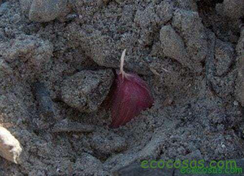 plantar ajos