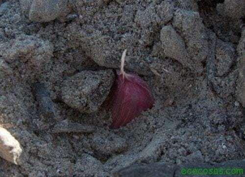 ajos5 Cultivar ajos (Ficha)