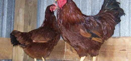Gallina Rhode Island Red