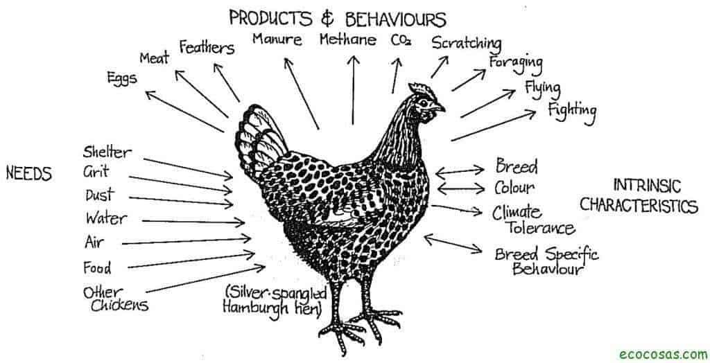 permaculture chicken 1024x524 La cría orgánica de gallinas