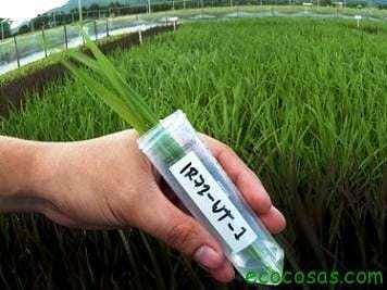 cultivos transgenicos Efectos del ADN/ARN exógeno procedente de plantas genéticamente modificadas sobre el sistema inmunitario humano