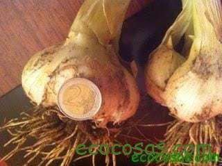 cuando sembrar ajos