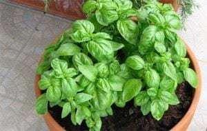 albahaca 300x190 Alimentos que curan y podemos plantar en casa