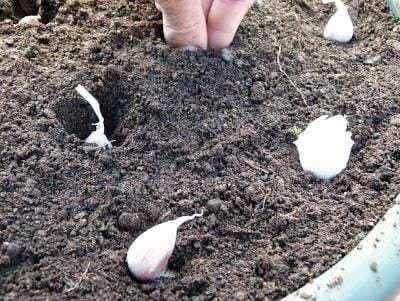 cuando se plantan los ajos