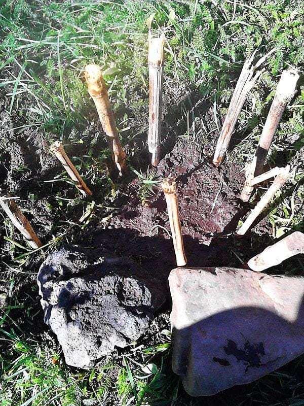 Araucaria trasplantada a una zona exterior y con piedras y cañas para protegerla.