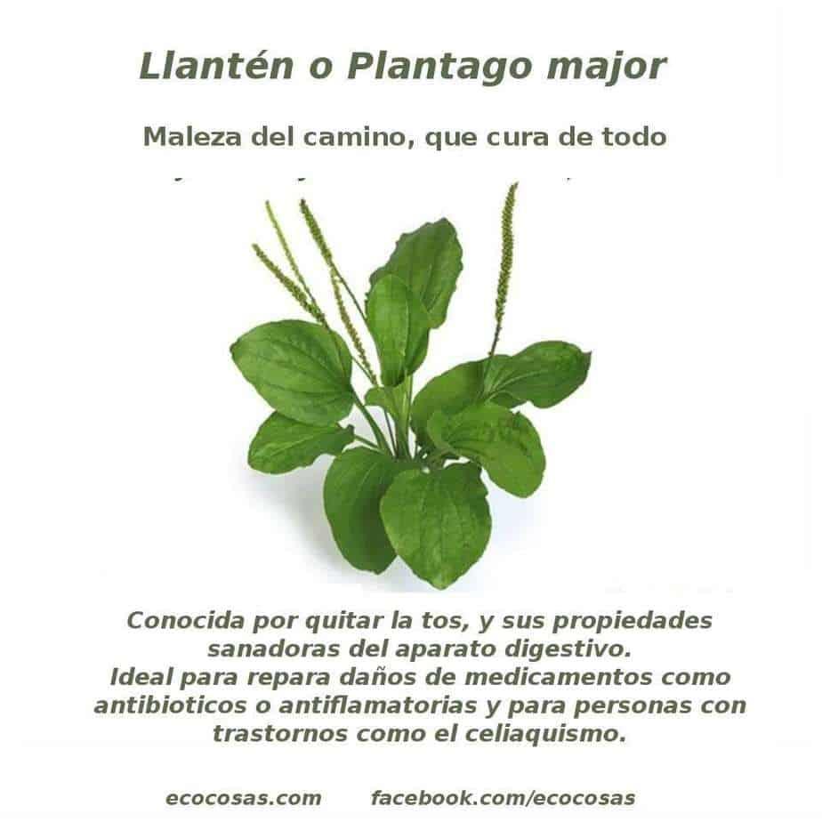 Llantén (Plantago major) buenaza que cura 1