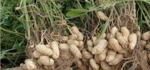 plant-peanut