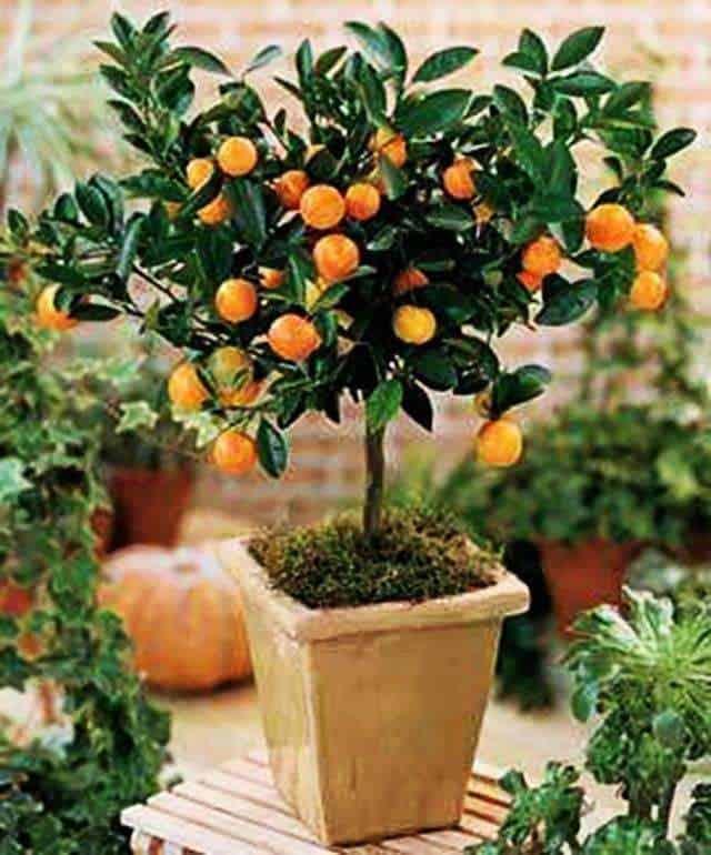 Como cultivar frutales en macetas 2