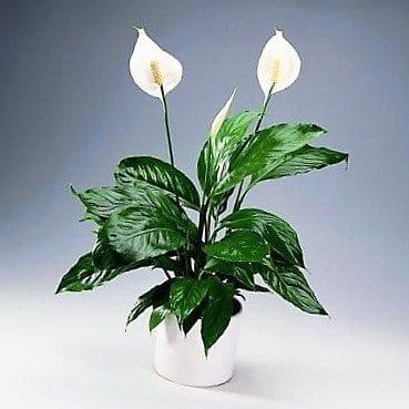 Las 5 mejores plantas para filtrar las toxinas del baño 2