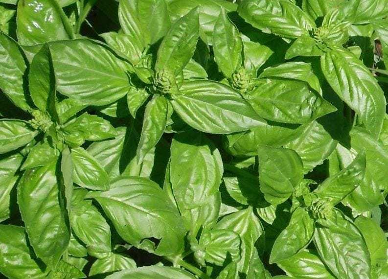 Remedios naturales para aliviar y prevenir las picaduras de mosquitos 2