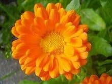 10 flores que no pueden faltar en tu Huerto. 1