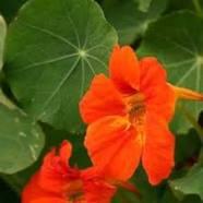 10 flores que no pueden faltar en tu Huerto. 4