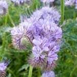 10 flores que no pueden faltar en tu Huerto. 5