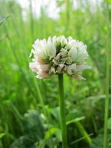 trebol en flor