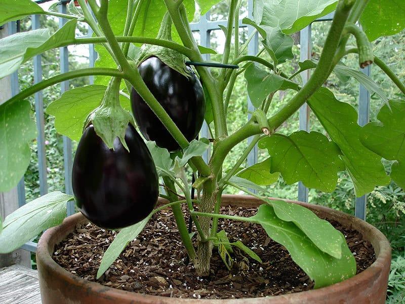 14 plantas ideales para el macetohuerto!! 4