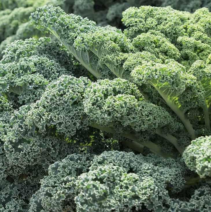 cultivar kale