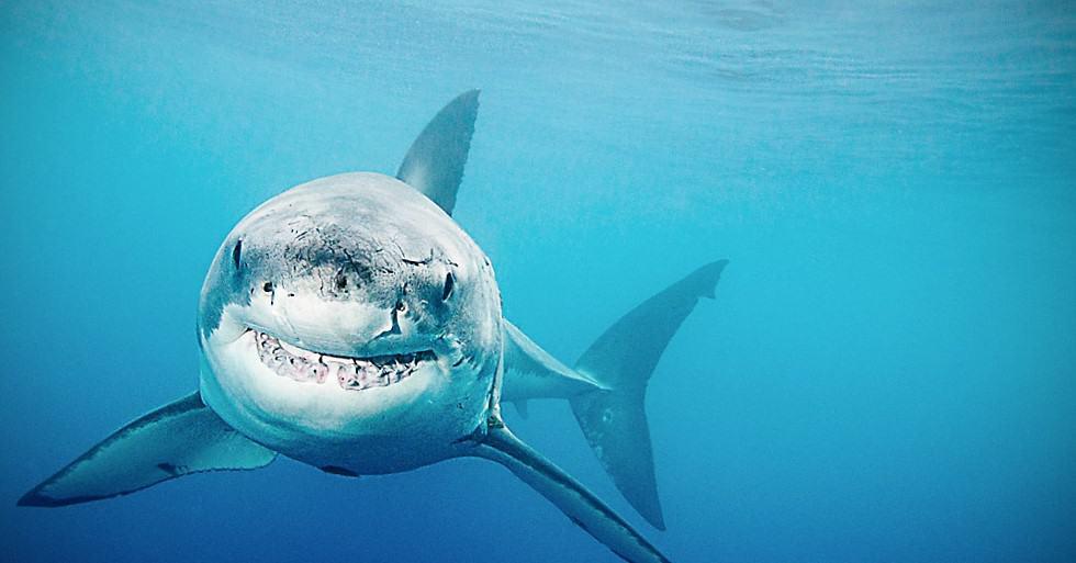 Escualeno (aceite de tiburón) en Cosméticos y hasta en vacunas 1