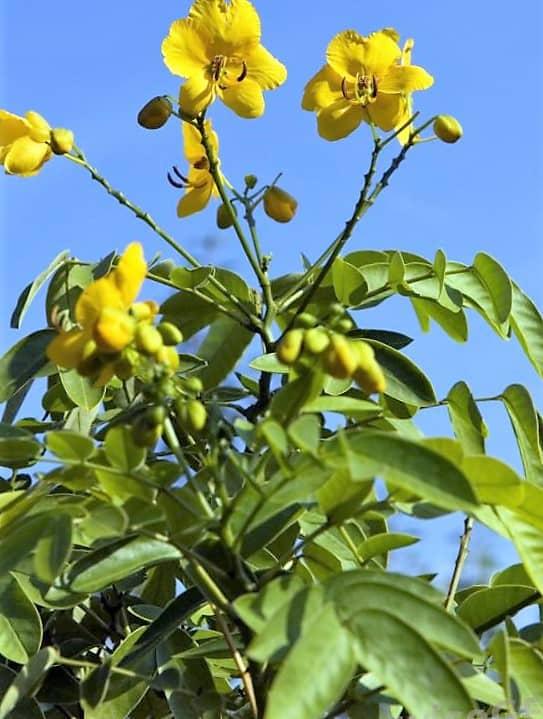 Cassia angustifolia o Sen (Senna Alexandria) usos y peligros de un laxante milenario 1