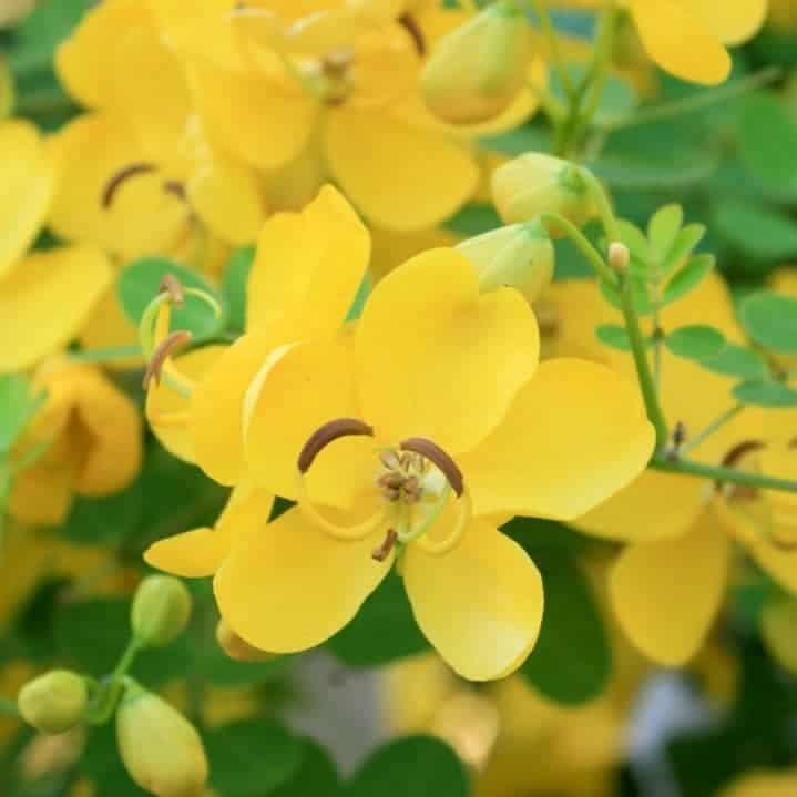 alejandria planta