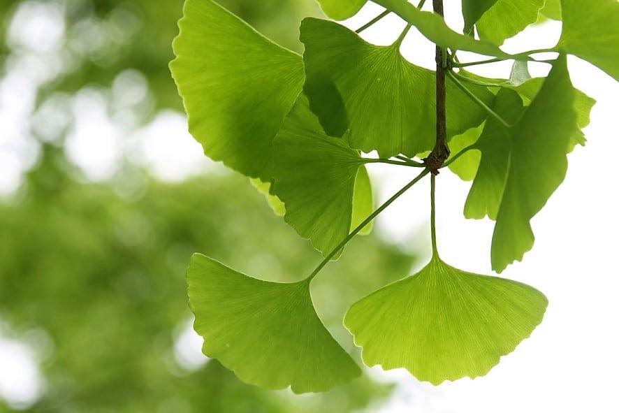 Ginkgo Biloba, Qué es, Beneficios, Cómo se usa y Contraindicaciones -  Ecocosas