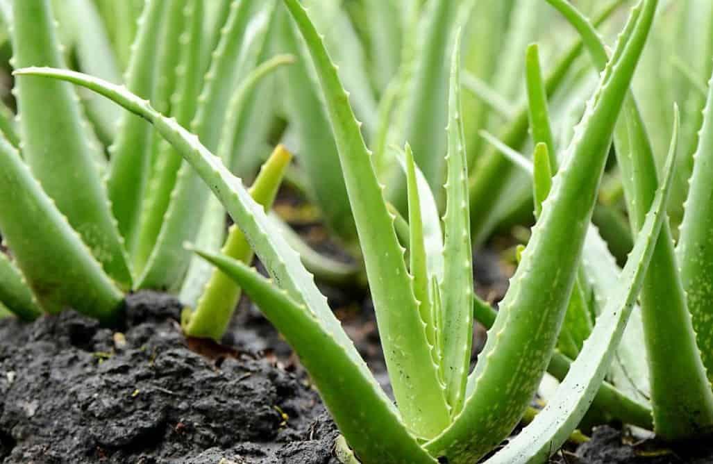 propiedades de la sabila planta medicinal