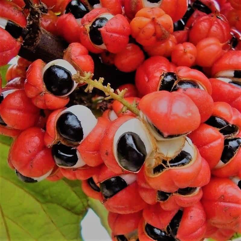 Guaraná beneficios, formas de uso y contraindicaciones 1