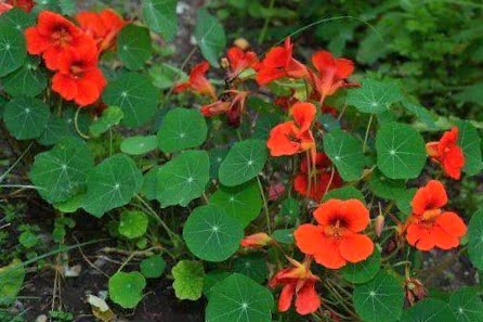 Capuchina or Taco de Reina, Characteristics and how to cook with this plant 1