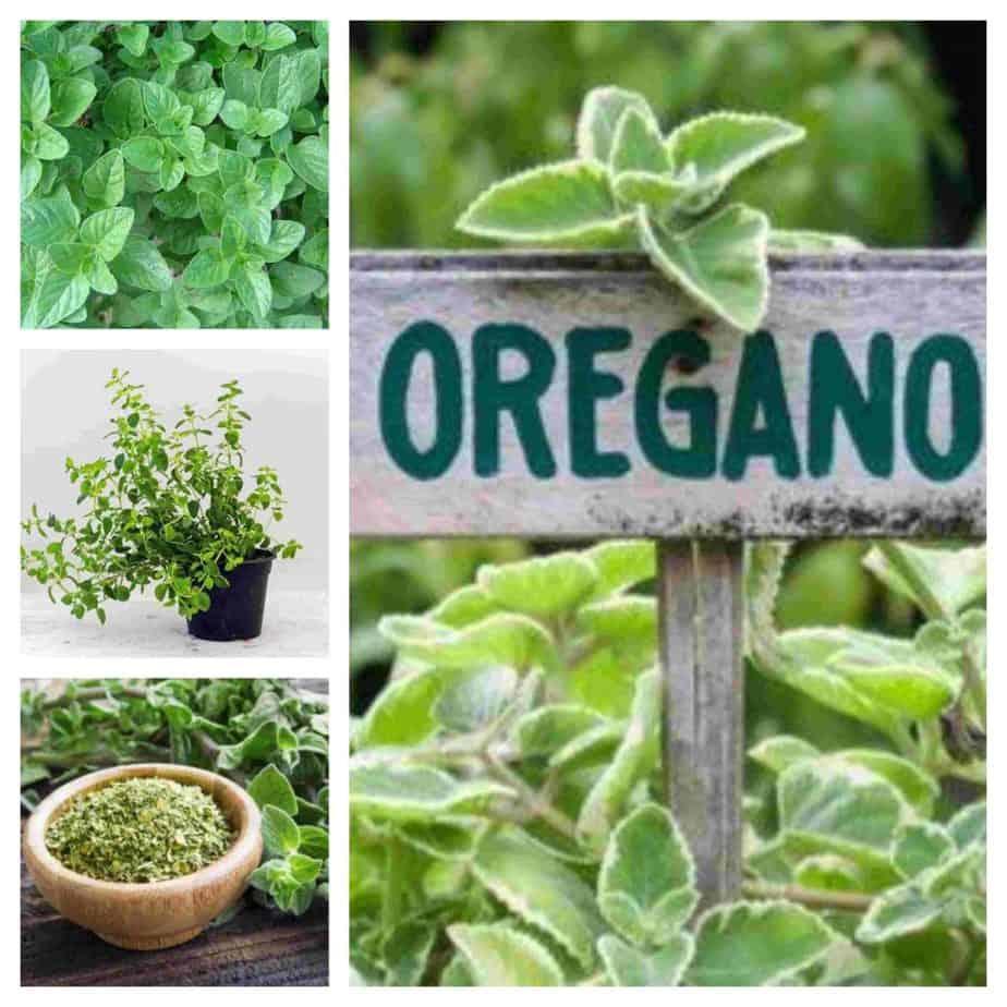 ¿Cómo plantar Orégano? 1
