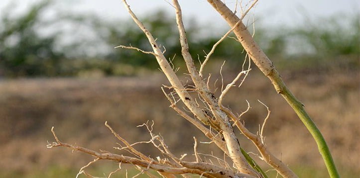 raiz de ashwagandha