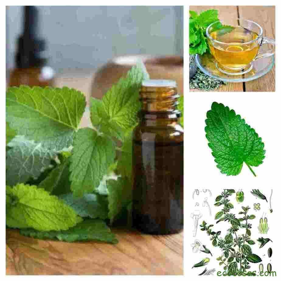 Melisa o Toronjil la planta ideal para el insomnio o la ansiedad 1