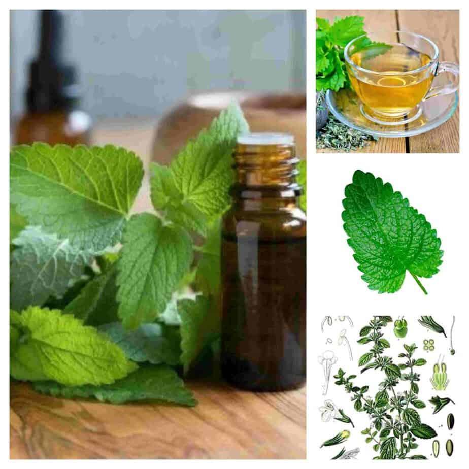 Melisa la planta ideal para la insomnio o la ansiedad 1
