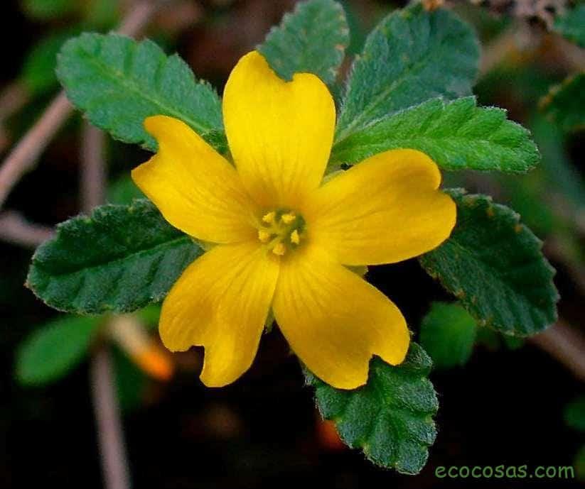 damiana planta