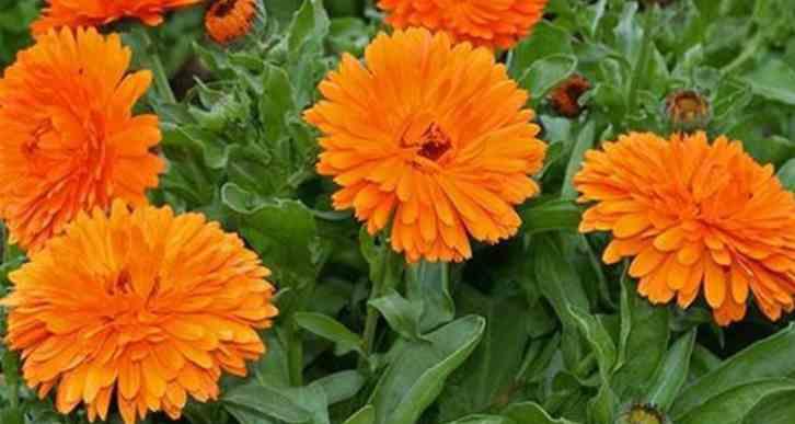 plant calendula