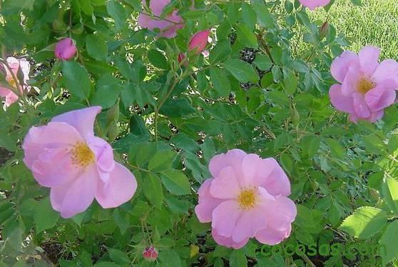 rosa mosqueta propiedades