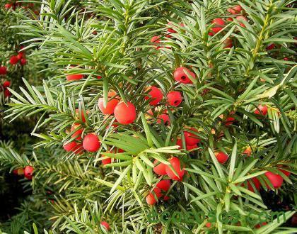 plantas venenosas en españa