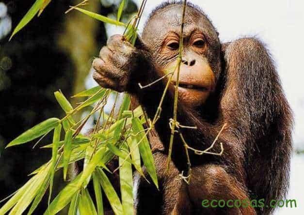aceite de palma orangutanes